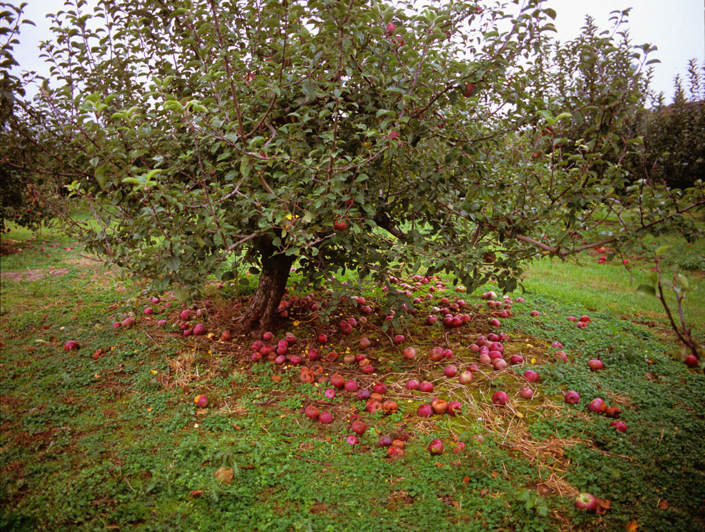 Apple Tree Apple tree, new england, usa